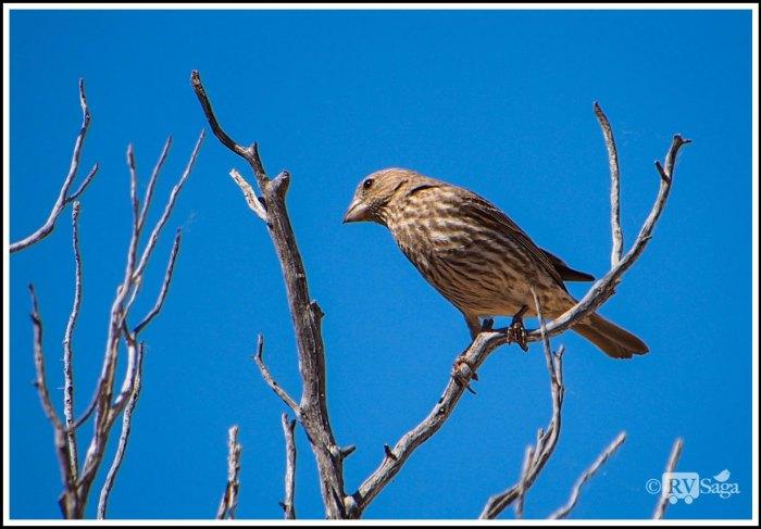 Female-House-Finch
