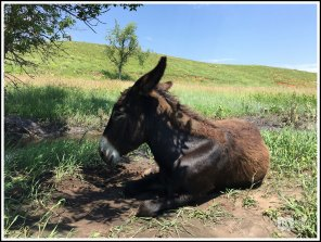 A Brown Burro Laying Recumbent. Custer State Park. South Dakota