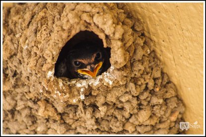 A Chick of Swallow in the Nest. Custer State Park. South Dakota.
