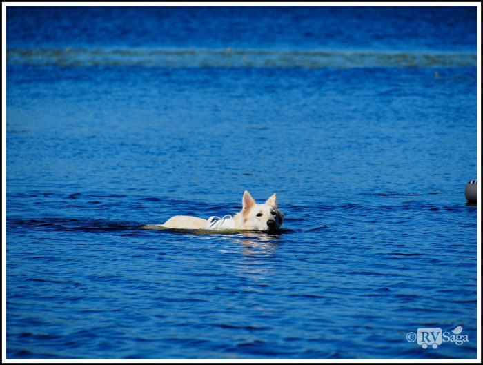 A-Dog-Swimming-on-Brevort-Lake