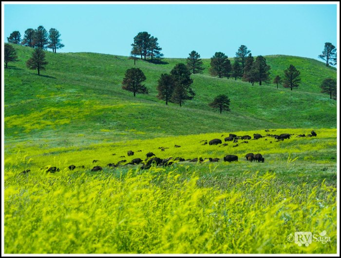 A-Herd-of-Buffalo-on-Prairie