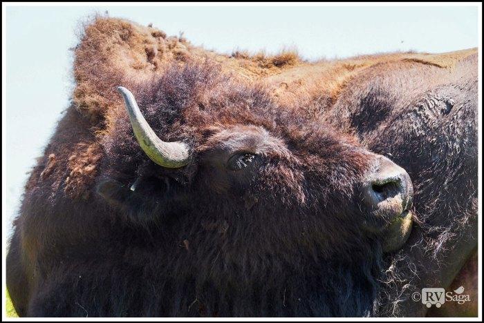 A-Preening-Buffalo