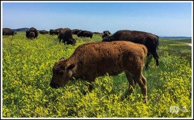A Young Buffalo Grazing