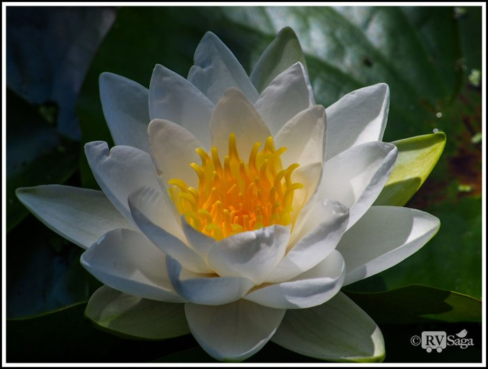 Pure-White-Water-Lily