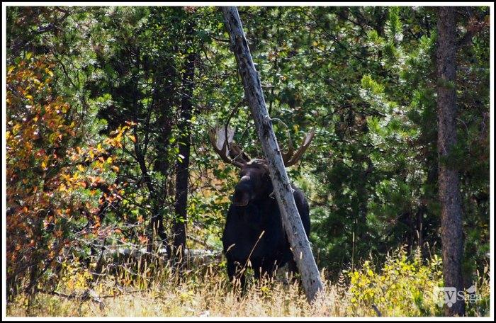 A-Bull-Moose-at-Grand-Teton