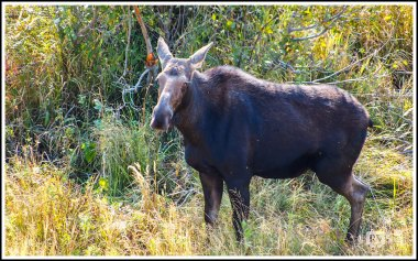 A Female Moose at Grand Teton