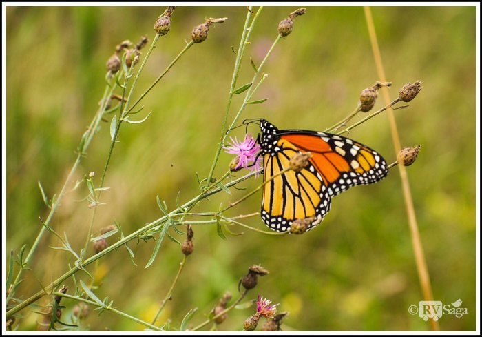 A-Monarch-Butterfly-Resting-on-Thistle-Flowers-at-Fayette
