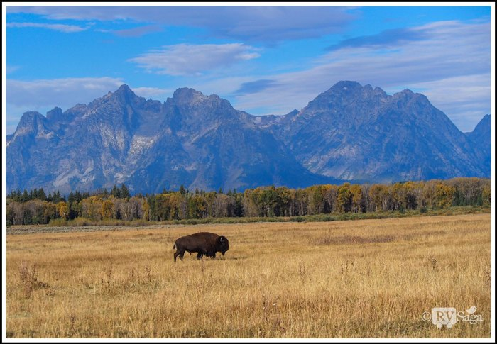 Bison-and-Grand-Teton