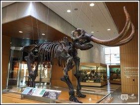Fossil of Mastodon