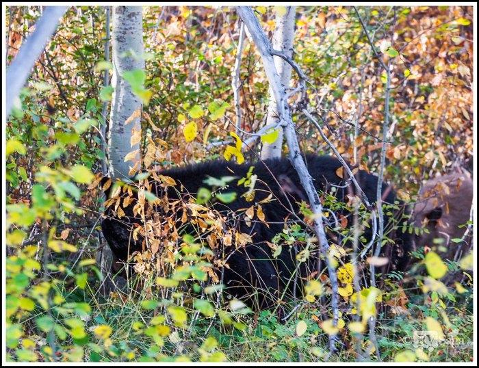 Mom-Black-Bear-and-Cub-in-Grand-Teton