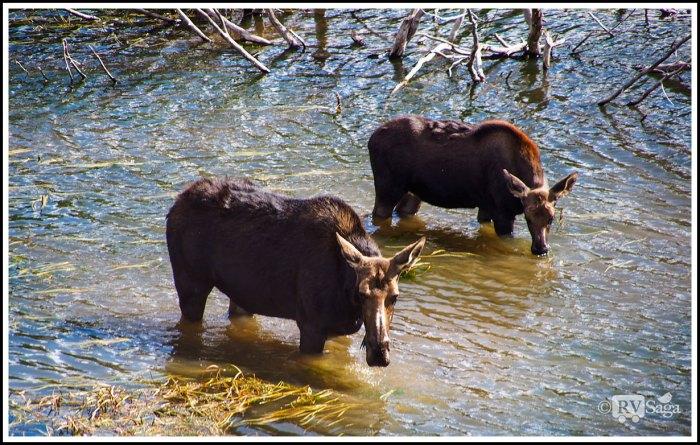 Mom-Moose-and-Calf-on-Snake-River