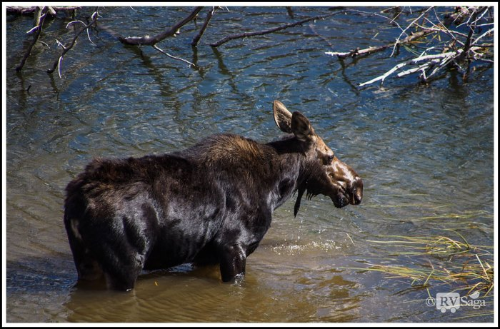 Mom-Moose-on-Snake-River