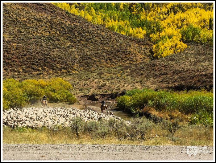 Shepherds-Herding-Sheep-Near-Smoot-Wyoming