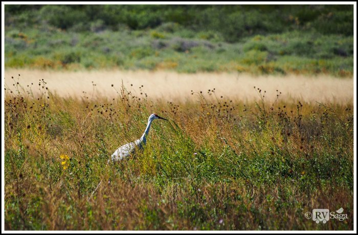 A-Sandhill-Crane