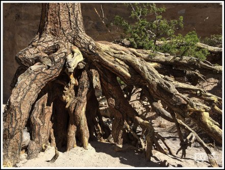 Close Up of the Above Ground Root System of a Pine Tree. Kasha-Katuwe Tent Rocks National Monument, New Mexico