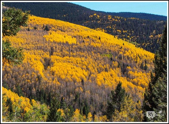 Yellow-Aspen-Grove