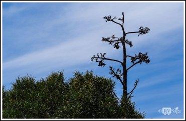 A Bird on the Century Plant's Flowers