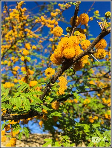 Blossoms of Huisache