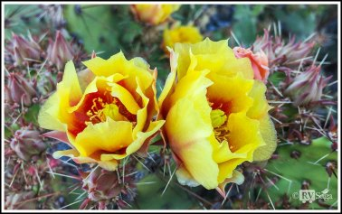Prickly Pear Cactus Blossoms