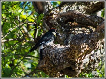 An Acorn Woodpecker at Pinnacles National Park