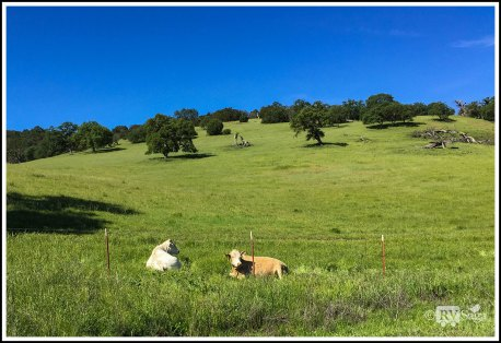 Cattle Resting on the Meadow at Bear Valley