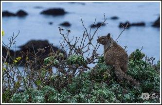 Squirrel by the Sea on Big Sur