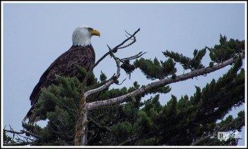 Bald Eagle by the Coast on Big Sur