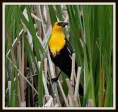 1-yellow-headed blackbird