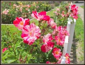 RosesMemorial