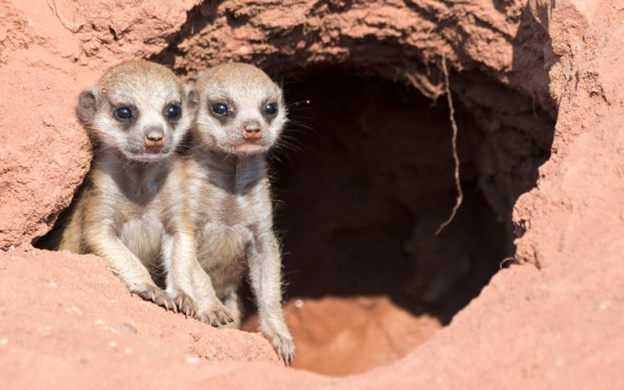 potd-meerkats_3404172k