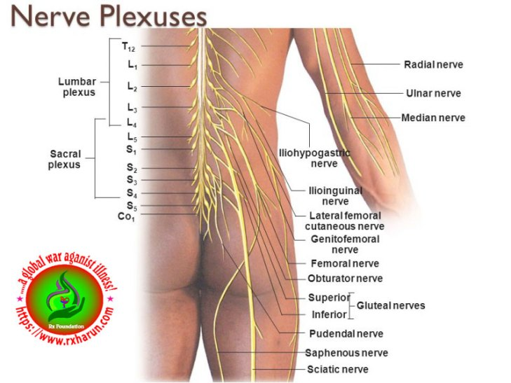corda equina syndrome/spinal nerve & pheripheral nerve harniation too