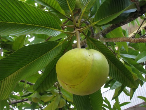 Elephant apple, Elephant Apple; Nutritional Value, Health Benefits, Recipes,