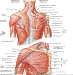 What muscles are in your lower abdomen?