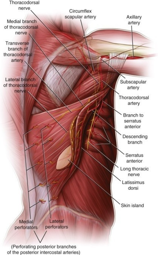 How To Strength of The Pectoralis Muscle?