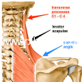 What Is Sternocleidomastoid Muscle?