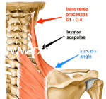 What Is Sternocleidomastoid Muscle? Functions