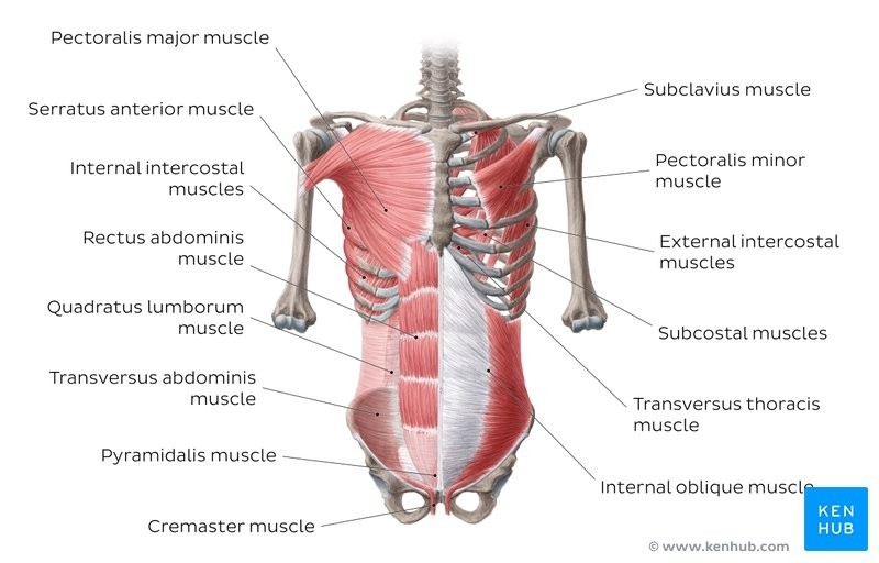 What Is Pyramidalis Muscle?, What Is Pyramidalis Muscle? Nerve Supply, Origin,