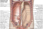 Which muscle of the abdominal wall is the most internal?