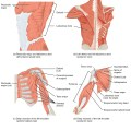 Muscle Attachments of Humerus