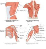 Muscle Attachments of Humerus – Shaft and Functions