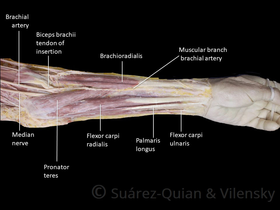 Muscles Attachment of Upper Arm, Muscles Attachment of Upper Arm – Blood Supply,