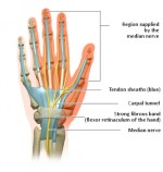 The Hands – Anatomy, Nerve Supply, Functions