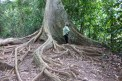 Hiking among the giant trees of the jungle.