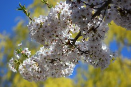 Cherry Blossoms in High Park No. 6