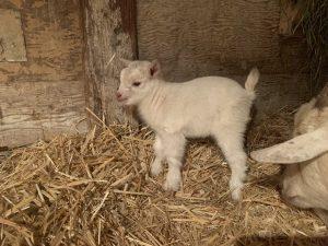 Baby boy goat