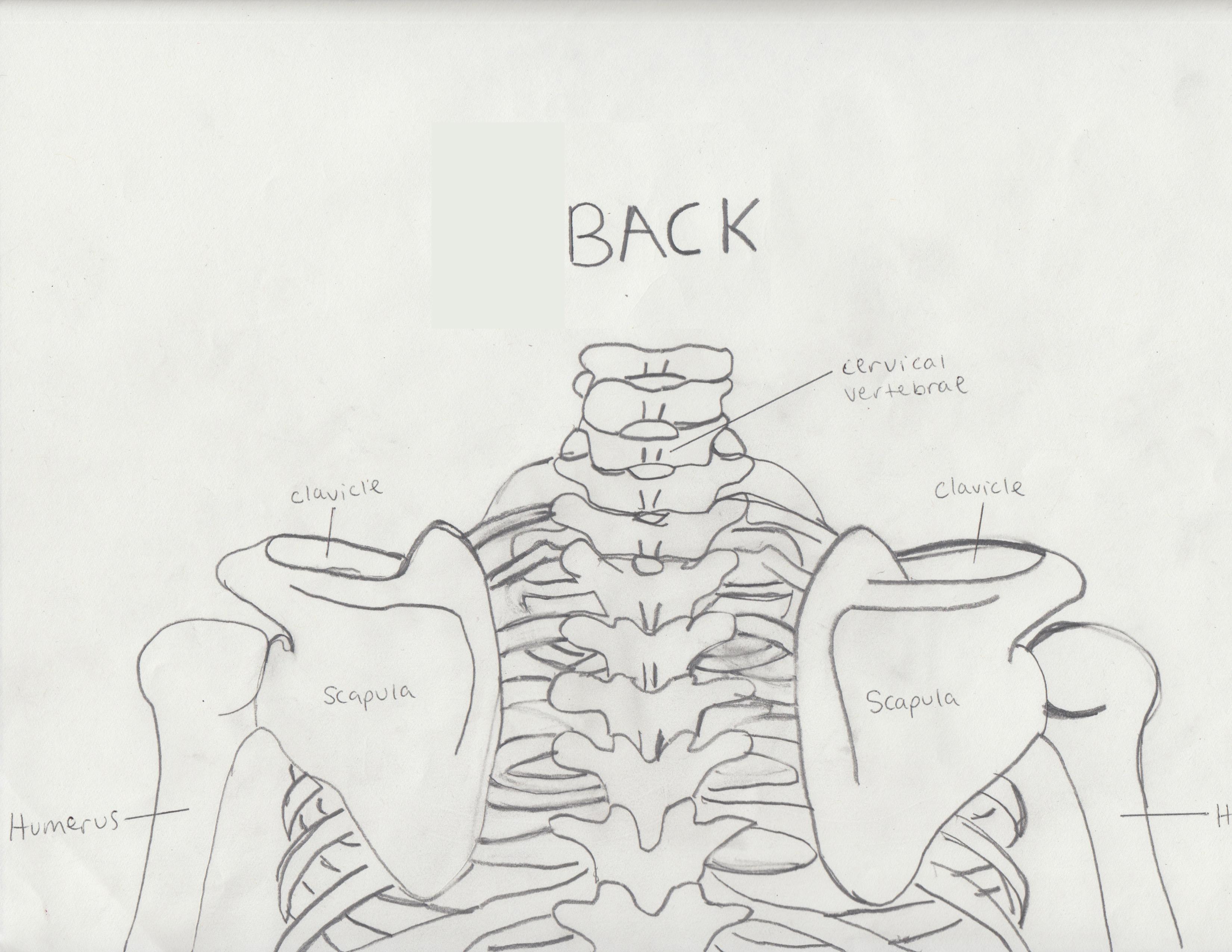 Neck And Shoulder Bones
