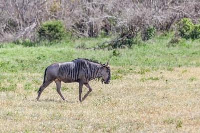 IMG_0422-Blue-Wildebeest