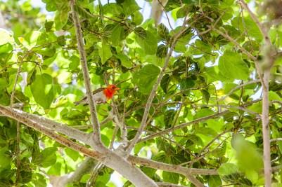 IMG_0621-Red-headed-Weaver
