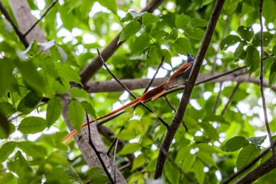 IMG_9024-African-Paradise-flycatcher-Male