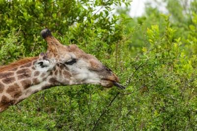 IMG_9662-Giraffe